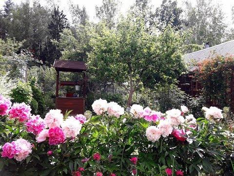 Наш сад в июне/ Цветение пионов и новая загогулина для клематиса от мужа