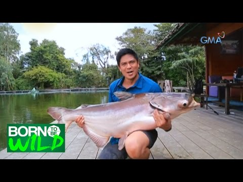 Born to Be Wild: First encounter with a Giant Mekong Catfish