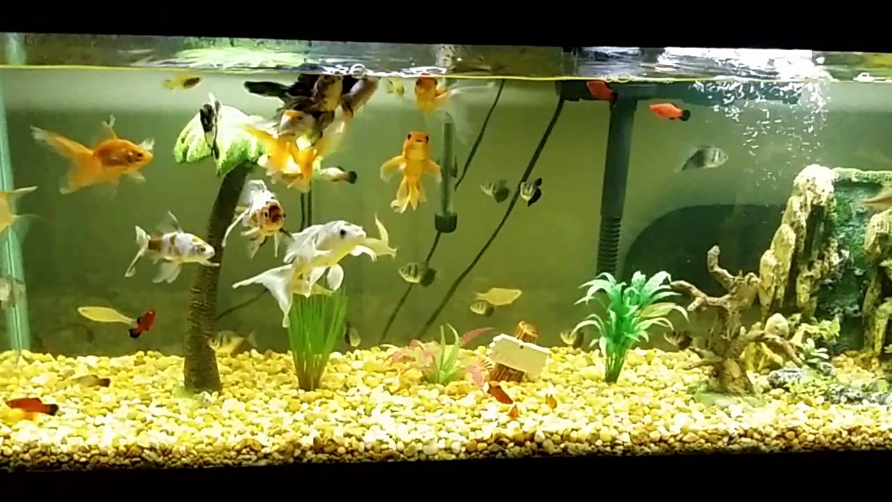 Goldfish y koi 55 galones youtube for Carpas koi cuidados