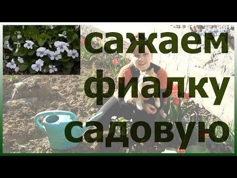 Посадка садовой фиалки. Цветущая фиалка садовая. Как посадить фиалку садовую.