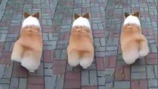 Корги виляет попой во время ходьбы