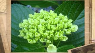 Бемерия крупнолистная (Boehmeria macrophylla)
