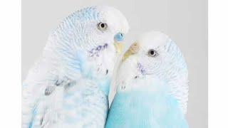 HOW I MADE 1 MILLION DOLLAR WITH FANCY BUDGIES