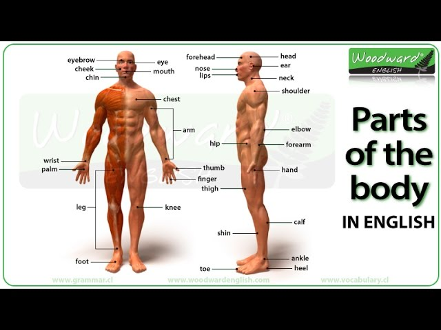 Parts Of The Body In English Youtube