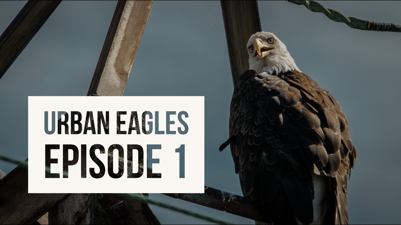 Urban Eagles: Episode 1 - Meet the Peebles 4k