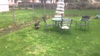 Ducks Chase Rusty The Pomeranian