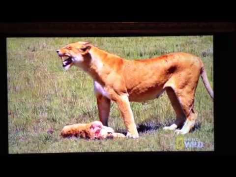 Lioness Loses Cub
