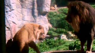 Lion discipline