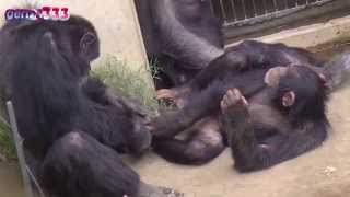 Repeat youtube video Funny chimpanzee