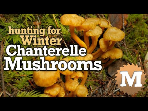 Winter Chanterelle Mushroom Hunting, Identification ID, How to Find, Harvest & Cook