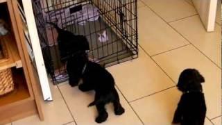 American Cocker Spaniel Puppies 7 Weeks Old