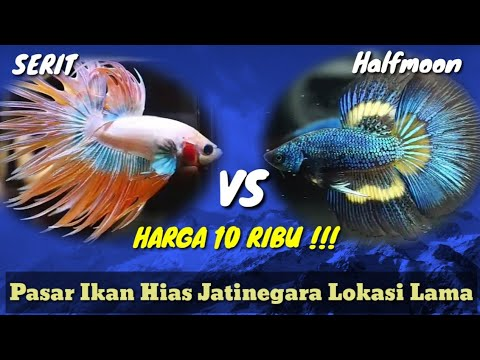 Beli Ikan Cupang Harga 10 Ribuan Pasar Ikan Hias Jatinegara Youtube