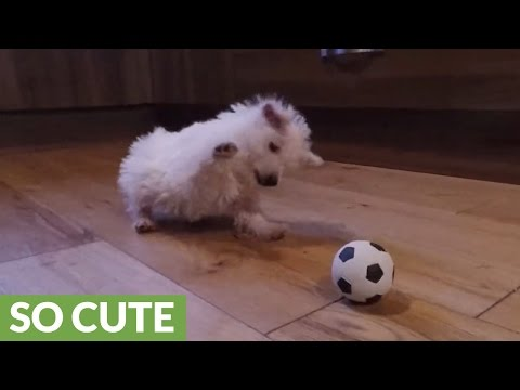 Westie puppy's epic playtime with mini soccer ball