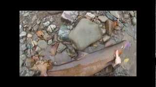 Fall Salmon 2.0 - West River, Pictou County, Nova Scotia