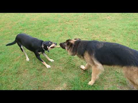 Tug of war - German Shepherd VS Australian Kelpie