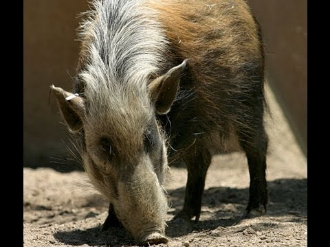 African Pig Hunting Double Bill