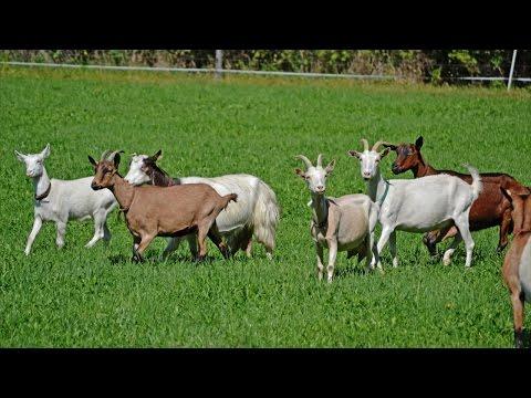 Curso Criação de Caprinos de Corte - Categorias Animais e Ciclo de Produção