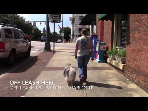 KEESHOND TWO WEEKS TRAINING. MARLOWE BEFORE AND AFTER VIDEO. CHARLOTTE KEESHOND TRAINERS