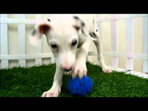 dalmatian-puppies-for-sale-san-diego