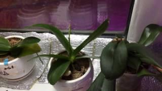 Орхидеи на северных окнах , окна со всех сторон закрыты от солнечных лучей