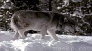 волки  севера