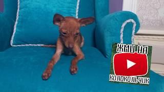 СОБАКА ДЛЯ РЕБЕНКА/РУССКИЙ ТОЙ щенок/КАК ВЫБРАТЬ СОБАКУ/ЩЕНКА