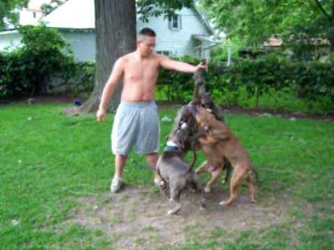 Razors Edge pit bull terriers