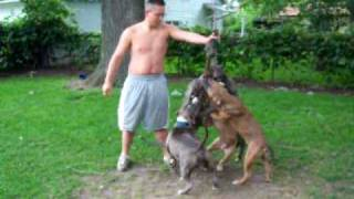 pups playin at home come see more pics and videos at www.aztecterri...