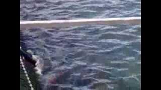 Камчатка.курильское озеро.медведи.мост учёта нерки