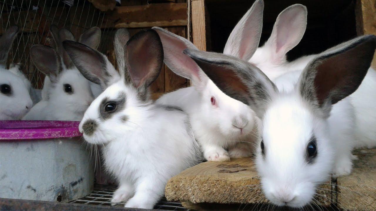 болезни кроликов симптомы и фото