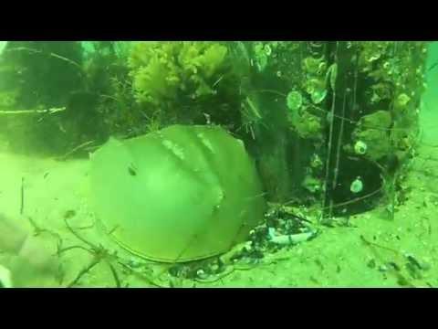 Atlantic Horseshoe Crab Rescue Underwater