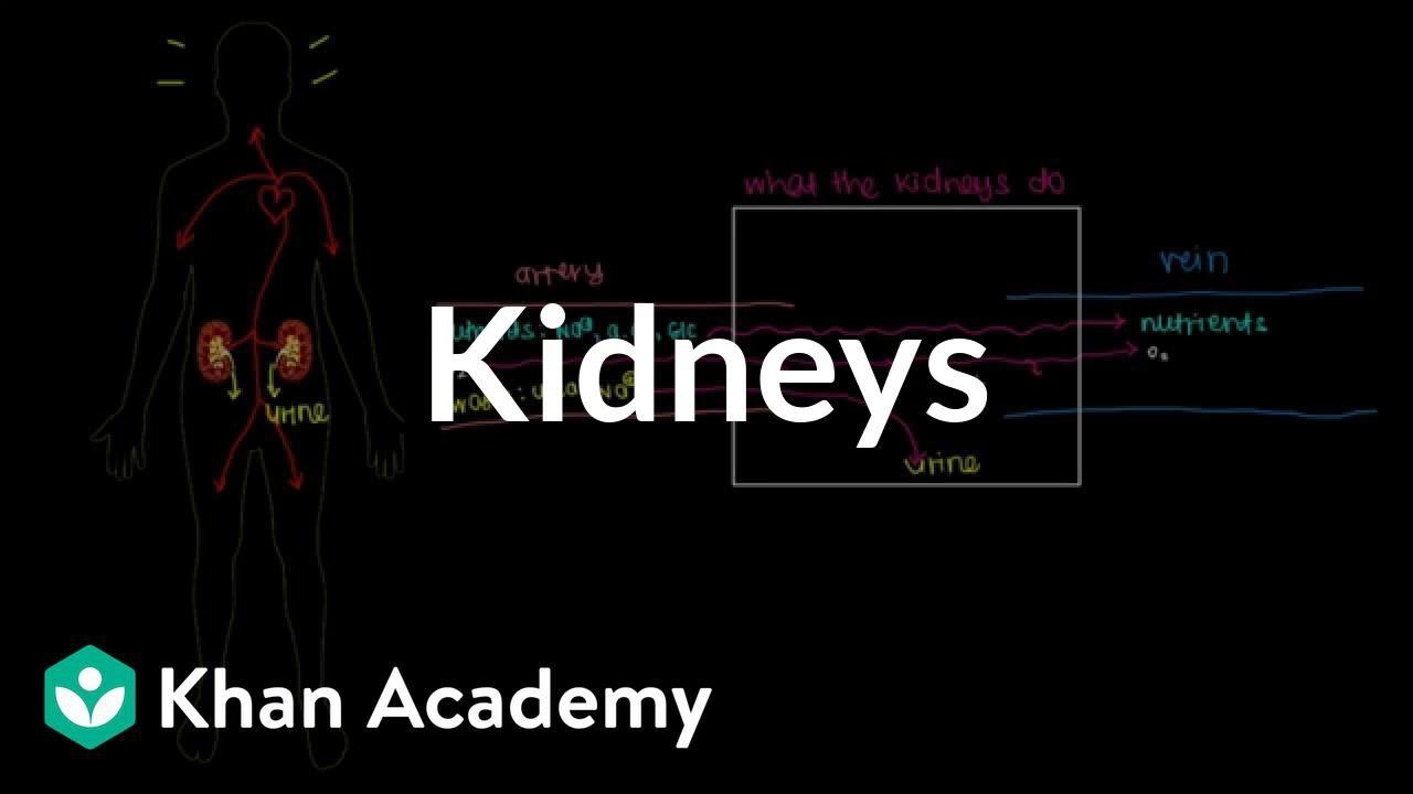 Meet the kidneys! (video) | Khan Academy