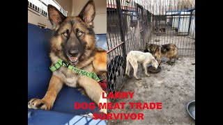 ADOPTING A DOG MEAT TRADE SURVIVOR FROM CHINA | LARRY SAVED BY SLAUGHTERHOUSE SURVIVORS