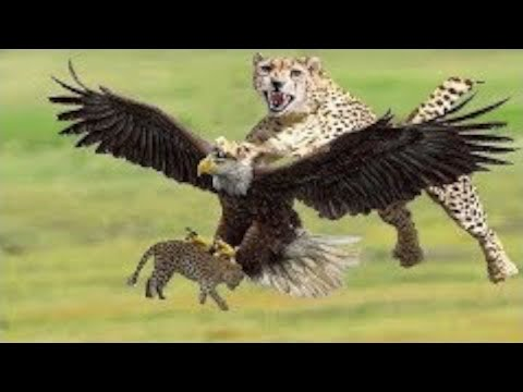 Hunters Fight / Eagle, Tiger and Cheetah