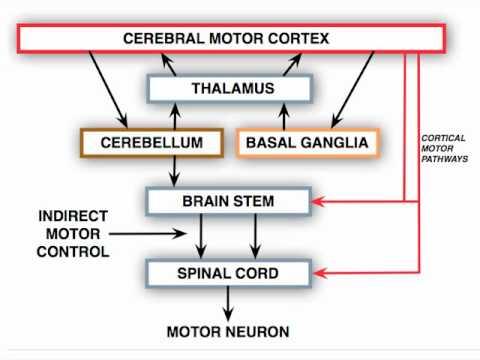 Anatomy Motor Exam Brainstem Motor Control Centers Youtube