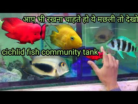 Aquarium Cichlid Fish Community Tank1