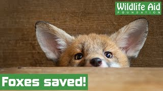 Baby fox cubs given a second chance in the wild!