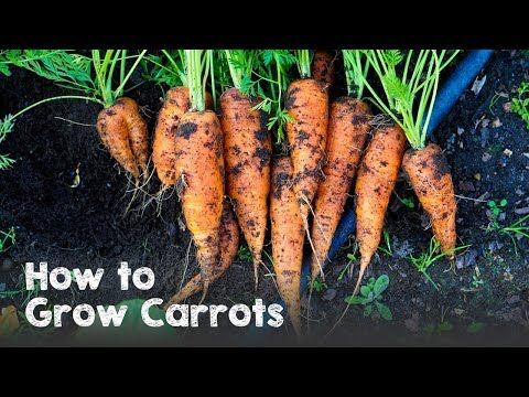how-to-grow-carrots-from-seed-to-harvest