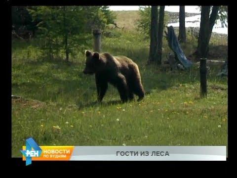 Медведь забрался на участок к мужчине в Нижнеудинском районе