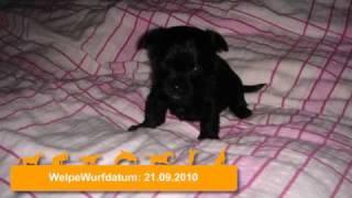 Süße Chihuahua-mix- Welpen Zu Verkaufen