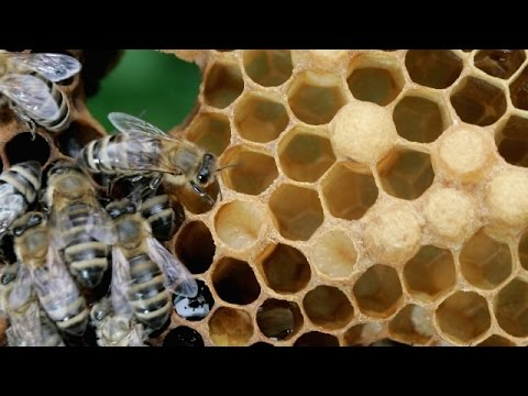 Honeybee Head-Butts Say More Than We Thought - Newsy