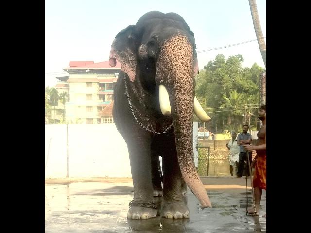 Parannur Nandan at Thripunithura Vrishchikolsavam 2016 -Kerala Elephant Heroes