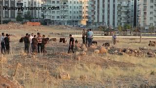 Nusaybin'de çobanın bulduğu çisimin patlaması sonucu ağır yaralandı