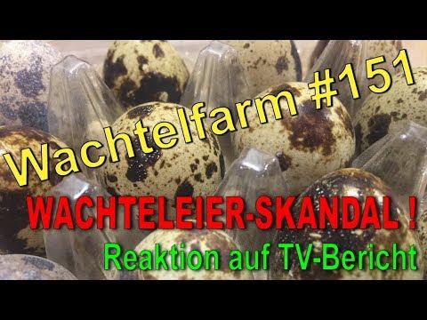 Wachteleier & Wachtel-Skandal - Reaktion auf TV-Bericht - Wachtelfarm #151