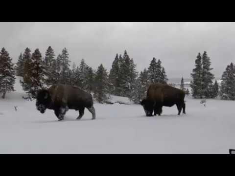 Yellowstone, January 2017 - Injured Bison