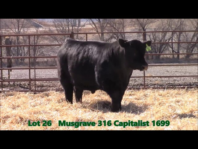 Musgrave Angus Lot 26