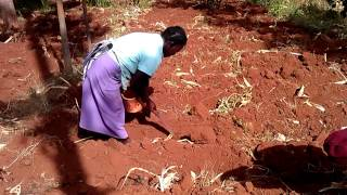 Planting fairtrade beans manually in Gichugu, Kenya