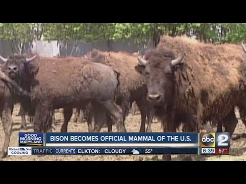 Bison becomes official mammal of the U.S.