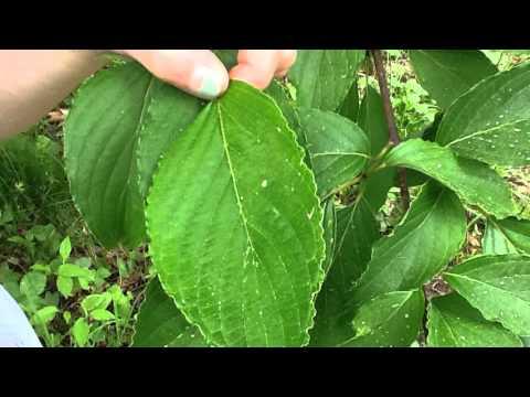 Large Leaf Dogwood  (7A & 4Bu)