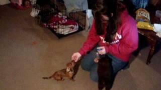 Miniature Dachshund Puppy Does Tricks